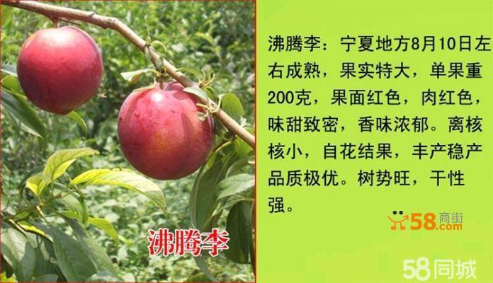 果园+苗圃培育模式:果园引进新特名优产品,在引进的众多苗木品种中,根据实际生长情况及市场销售结果,挑选最优品种,在苗圃大面积嫁接繁殖,保证您看到啥样栽出来就是啥样。本苗圃所有苗木均为两年以上嫁接苗,直径在100mm至300mm,株高在1米至3米内(别人10元的苗子还没有我们苗木的一个旁枝大)。 由于本人白天太忙,基本都在苗圃指导匠人们嫁接来年苗木,大多数时间可能不在电脑旁边,需要苗木的朋友请直接拍下付款,晚上我会统计相应信息安排发货(发货前,匠人会将苗木修剪好,亲们收货后直接栽种即可;苗木包装为先裹几层塑