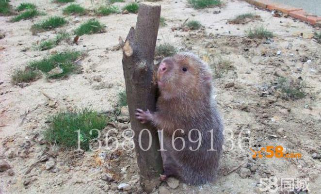 竹鼠种苗养殖 特种小动物 芒鼠野味 单只1.