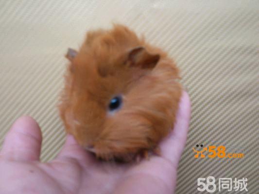 超级可爱宠物鼠黄色短逆毛荷兰猪dd特价包邮包笼子