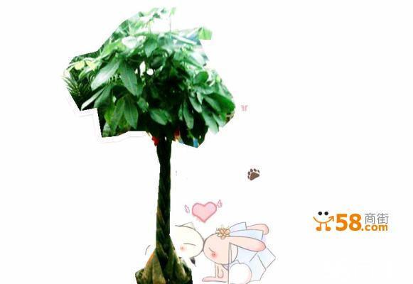有园艺品种花叶发财树